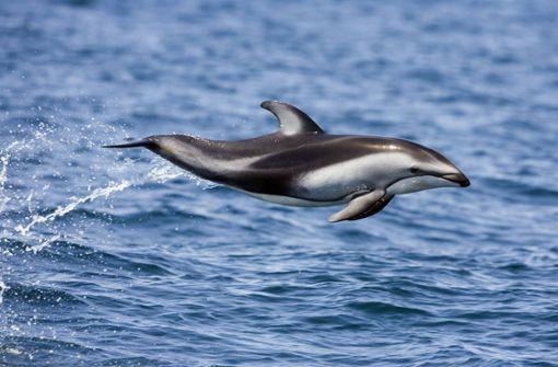 Tausende Delfine vor Kaliforniens Küste gesichtet