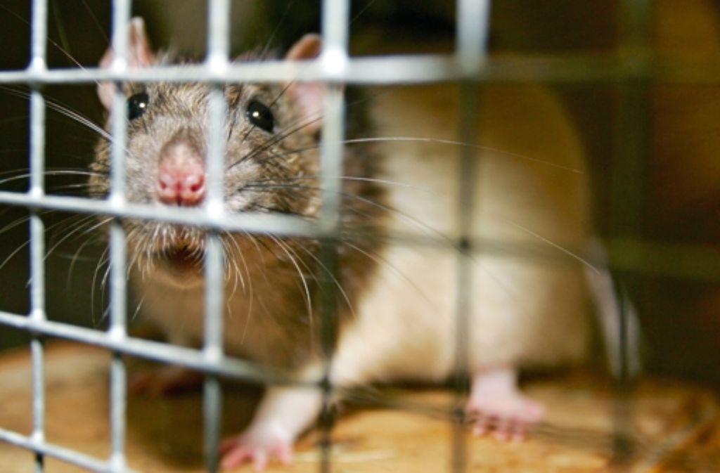 Ratten können durch Genmais krank werden, sagt ein französischer Forscher. Foto: dpa