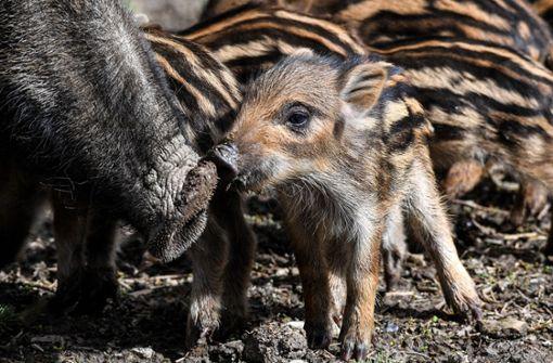 Wildschwein-Nachwuchs beschnüffelt die Umgebung