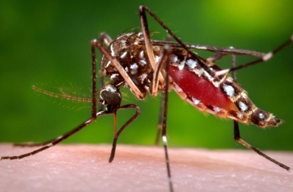 Der tropische Erreger wird vor allem durch die Moskitoart Aedes aegypti übertragen. Foto: AP