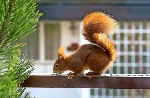 Eichhörnchen nascht  am Vogelfutter