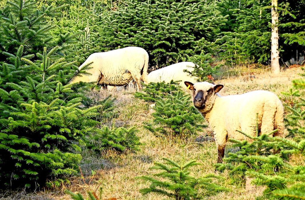 Das Gras zwischen den Tannen muss übers Jahr kurz gehalten werden – in Berghaupten erledigen Schafe aus England diesen Job. Foto: Armbruster