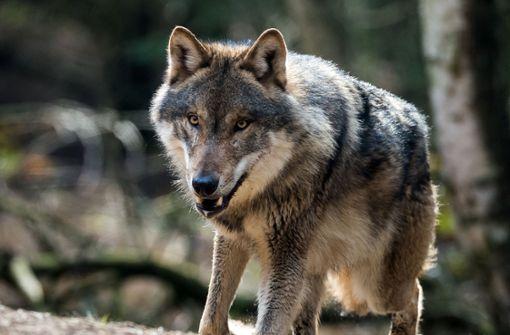 Bad Wildbad soll Wolfsgebiet werden