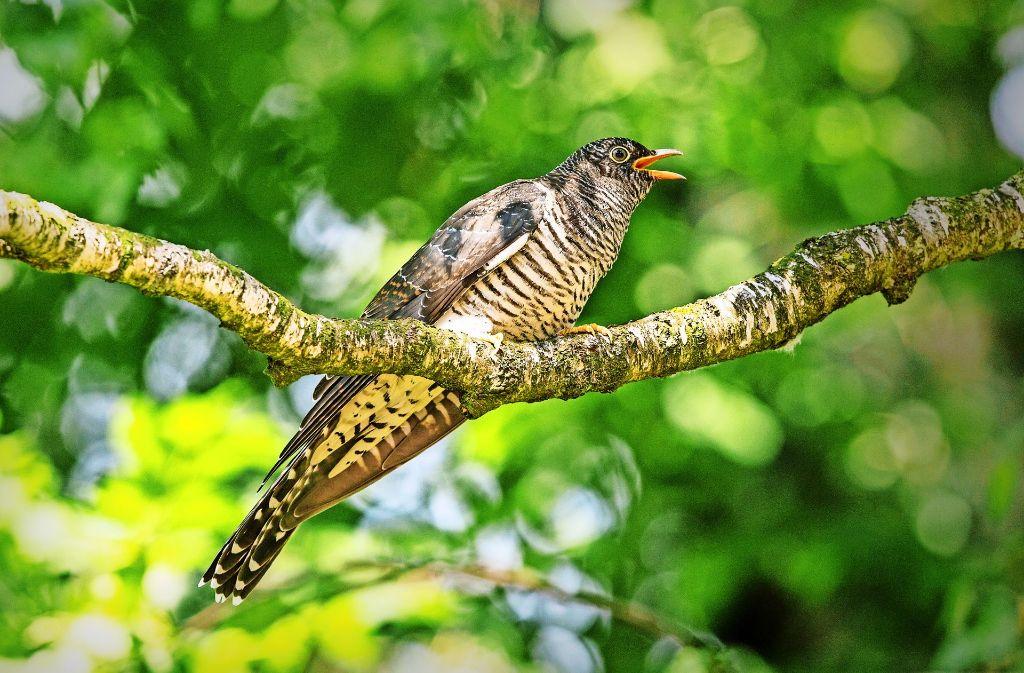 Einfallsreicher Brutparasit: Der Kuckuck legt seine Eier in fremde Nester. Foto: