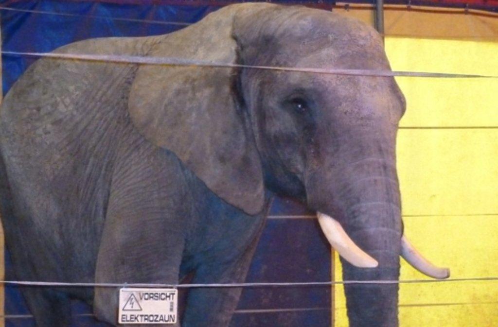 Die Aufnahme zeigt den Zirkuselefanten Benjamin im Jahr 2011, der in Buchen  einen Menschen getötet hat. Foto: Peta/dpa