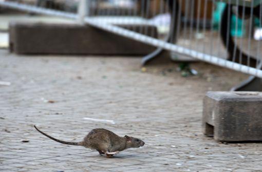 Diese Tipps helfen gegen Ratten