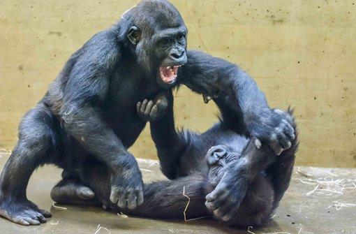 Zwei Jung-Gorillas ziehen um