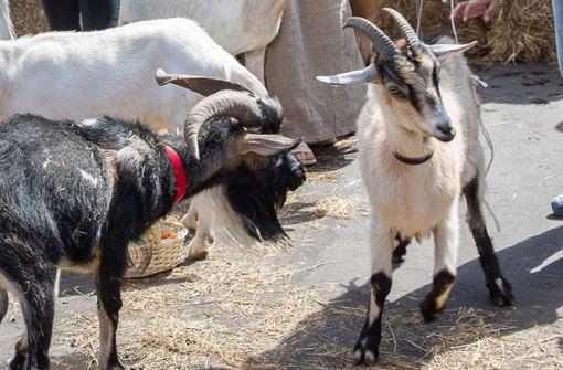Zwei Ziegenböcke schleichen sich in Herde ein