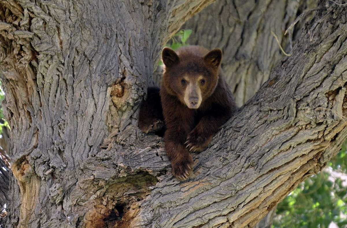 Seit 1983 habe es in der Provinz Saskatchewan keinen tödlichen Angriff eines Bären mehr gegeben. (Symbolbild) Foto: dpa/Mike Nelson
