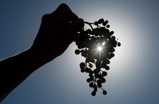 Unbekannte stehlen zehn Tonnen Weintrauben