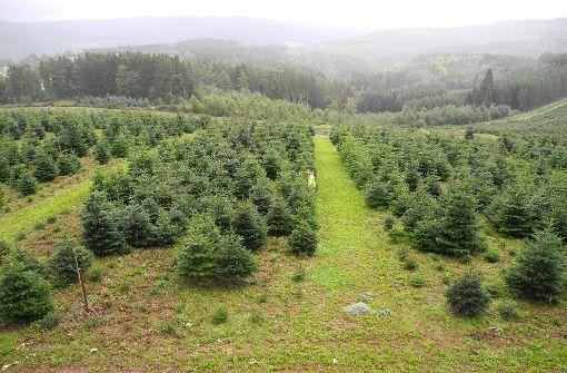 Preise für Weihnachtsbäume stabil