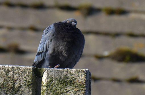 Gute Tauben, böse Tauben