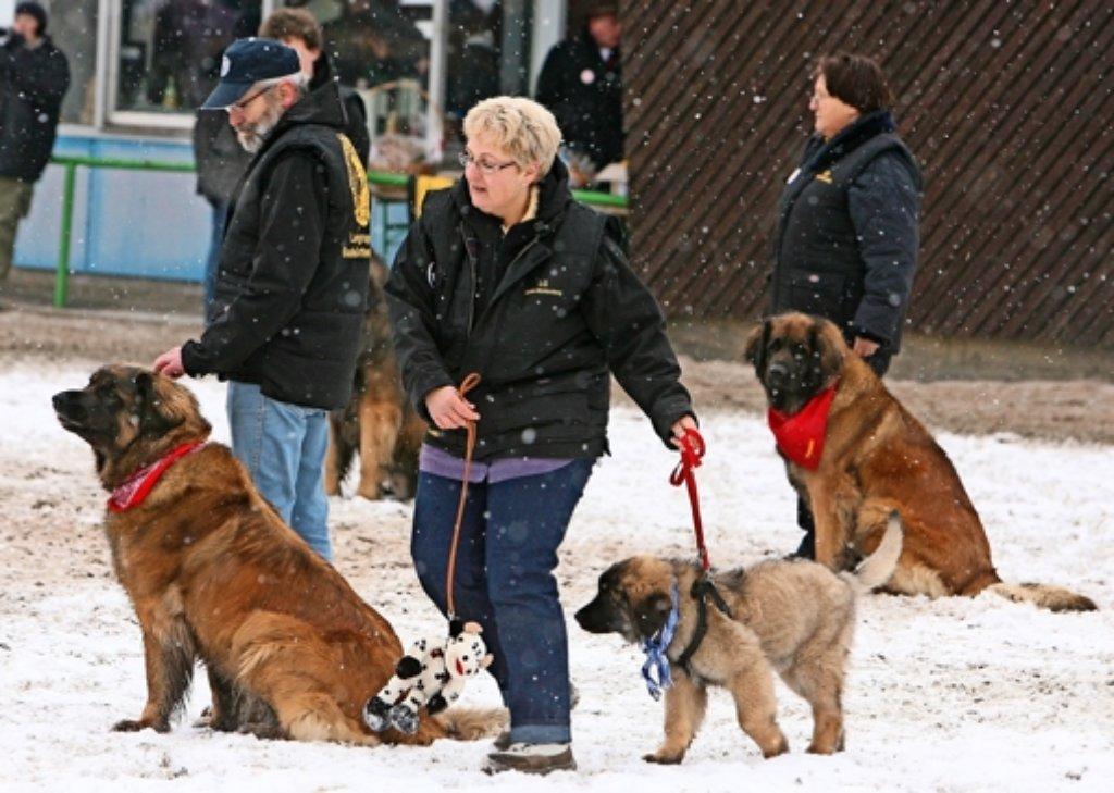 Kälte, Schnee und Regen – nicht jeder hat da so ein dickes Fell wie die Leonberger Hunde. Viele werden dann krank. Foto: