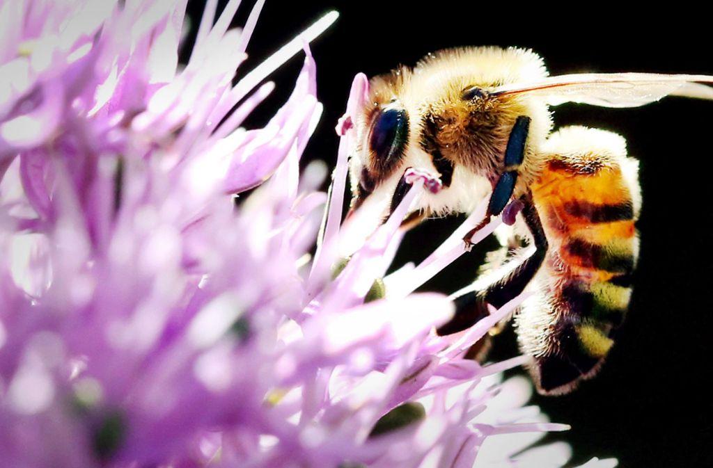 """Ohne den Druck von """"Rettet die Bienen""""  stünde der Artenschutz politisch nicht so hoch im Kurs wie jetzt. Foto: dpa/Martin Gerten"""