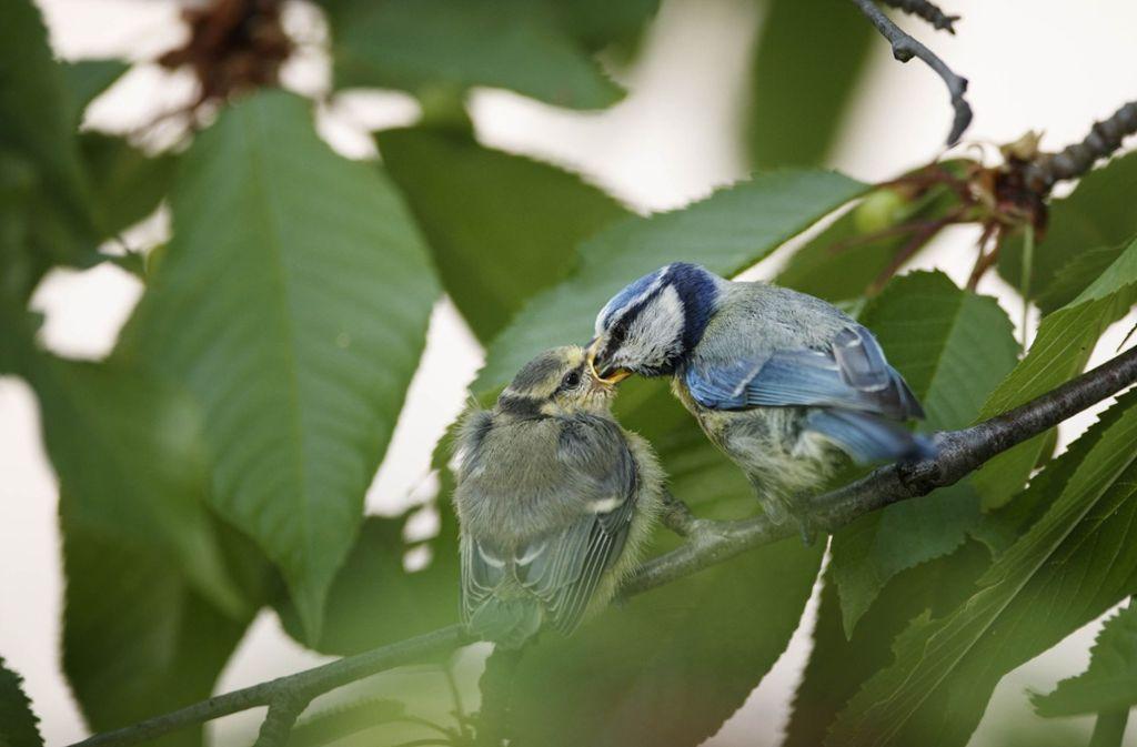 Eine Blaumeise in Waiblingen füttert ihr Junges – dieses Bild ist in den vergangenen Jahren immer seltener geworden. Foto: Gottfried Stoppel