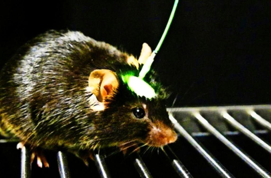 Mit Optogenetik kann man  Nervenzellen präzise steuern. Foto: Goshen, Deisseroth