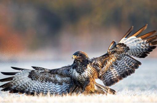 Greifvogel verursacht Auffahrunfall mit drei Verletzten