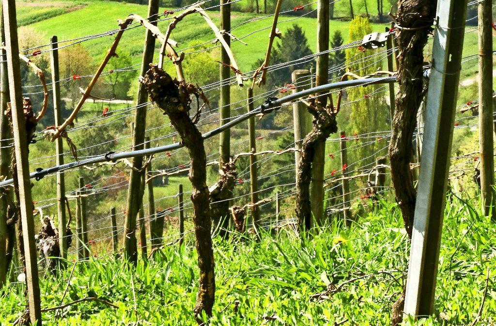 Den Weinreben am Ehrenberg bei Leonberg hat der Frost geschadet. Die Wengerter befürchten einen Ernteausfall. Foto: factum/Granville, Albert Kaspari