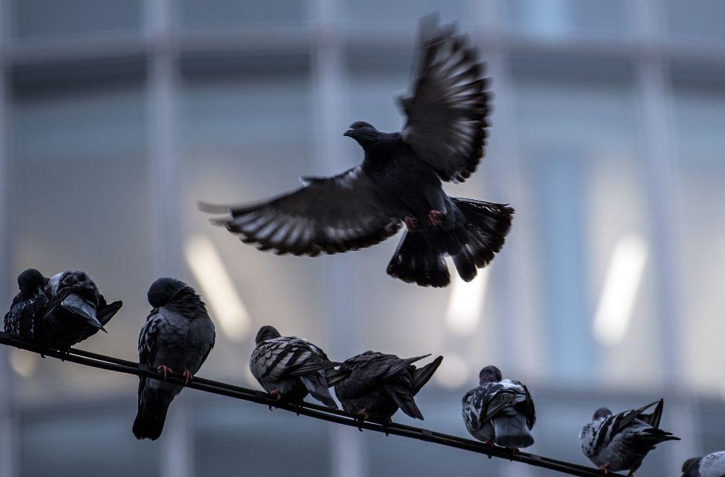 In Murrhardt im Rems-Murr-Kreis sterben reihenweise Tauben – möglicherweise durch Gift. Foto: dpa