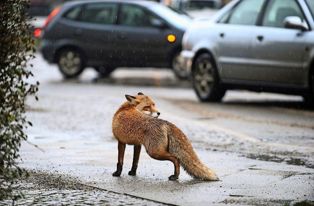Auch Füchse haben mittlerweile keine Scheu vor der Stadt – und sind ungeniert auf den Straßen unterwegs. Foto: dpa