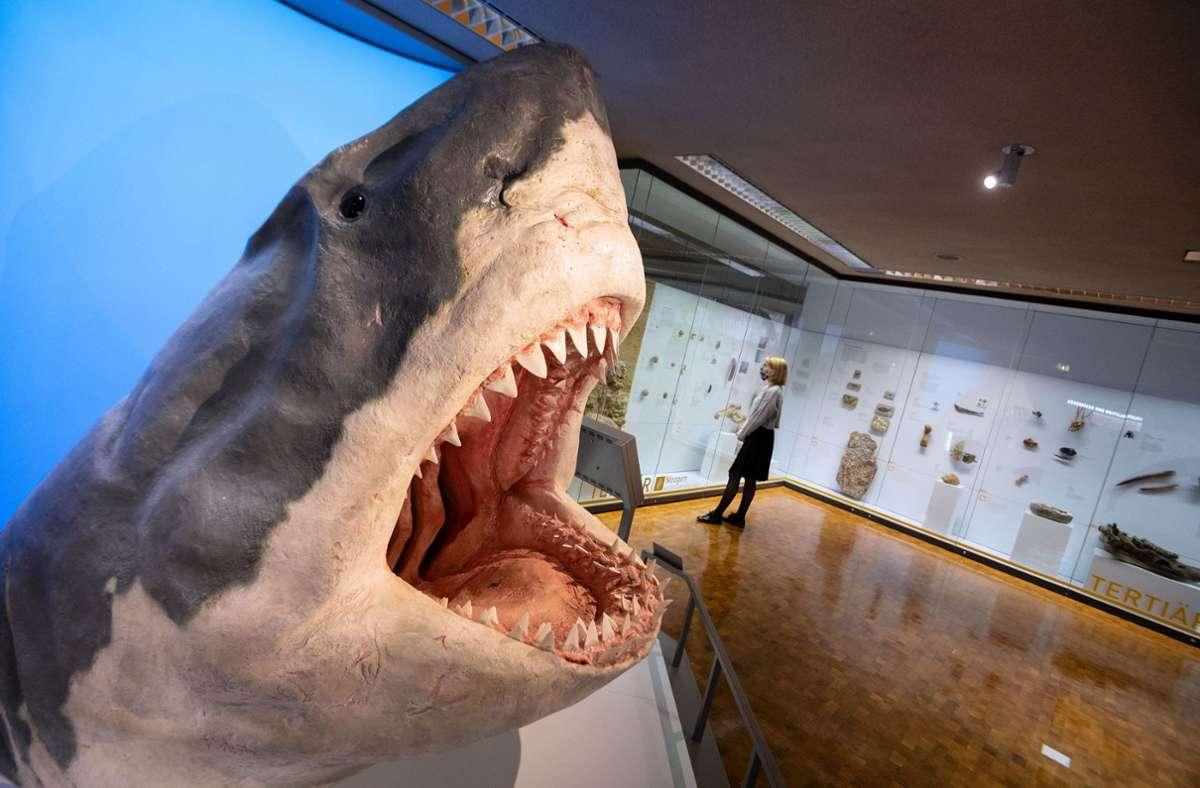 Der nachgebildete Kopf eines Urzeithais ist der Publikumsliebling im neuen Ausstellungsbereich im Museum am Löwentor. Foto: dpa/Marijan Murat