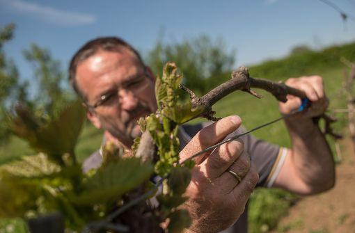 Andreas Siegele begutachtet vom Frost betroffene Weinreben: etwa die Hälfte der Stöcke in der Stadt könnten vom Wintereinbruch im April betroffen sein. Foto: Lichtgut/Max Kovalenko