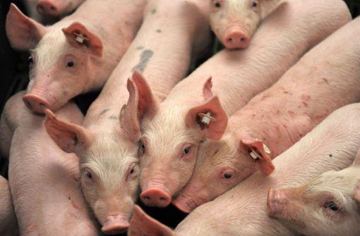Forscher weisen Hepatitis-E-Viren in Schweinefleisch nach
