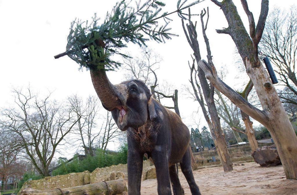 Elefanten mögen ausgediente Weihnachtsbäume. Eine Teilnehmer der Bürgerbeteiligung hat noch eine ganz andere Idee, wie sich die Kraft der Wilhelma-Vierbeiner nutzen lässt. Foto: dpa