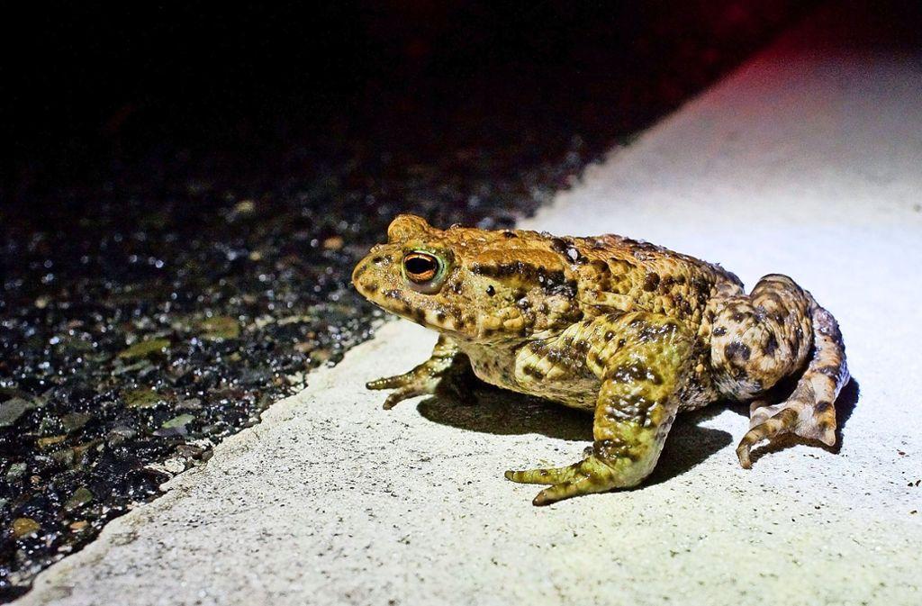 Bei ihren Wegen über Straßen begeben sich  Kröten und Frösche in   Lebensgefahr. Foto: dpa