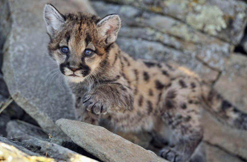 """Die Tierart """"Puma Concolor"""", zu der die beiden Jungen gehören, ist vom Aussterben bedroht. (Symbolfoto) Foto: imago images/All Canada Photos"""