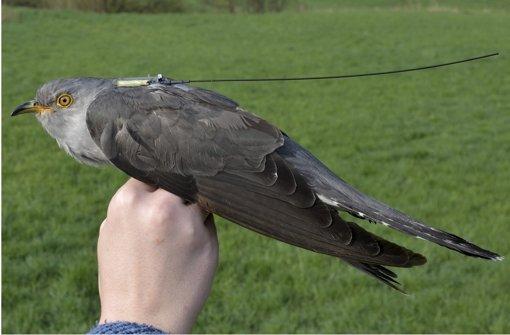 Der Sender auf dem Rücken des Kuckucks wiegt keine fünf Gramm. Foto: Andreas von Lindeiner