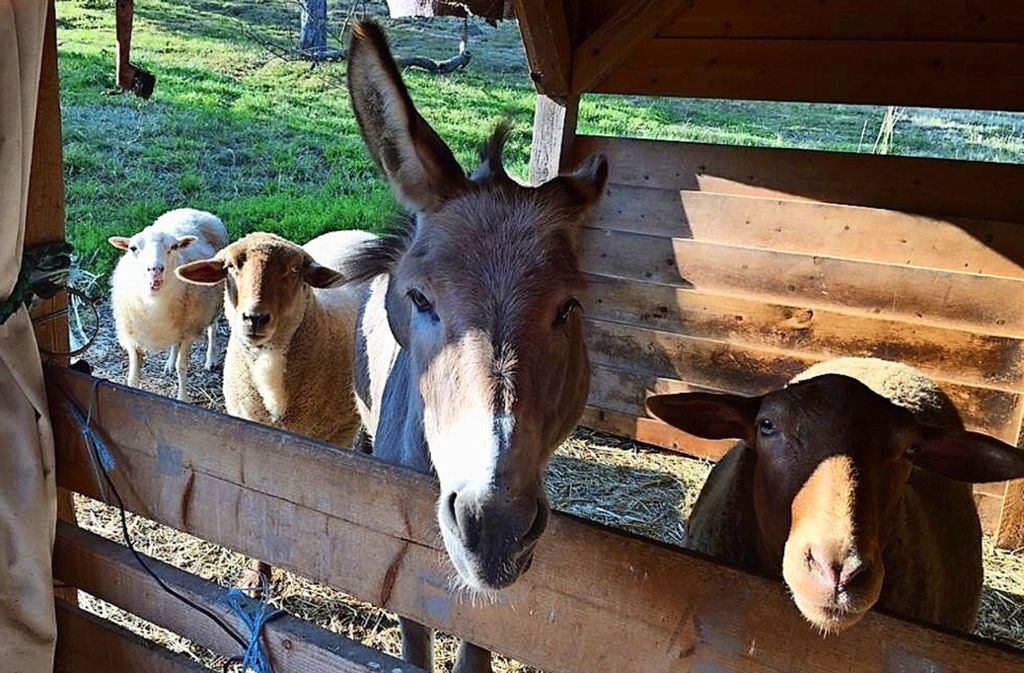 Ein Foto aus besseren Tagen: Esel Fritzi und die drei Schafe leben gemeinsam auf der Kressart-Streuobstwiese Foto: privat/Kim Funk-Fritsch