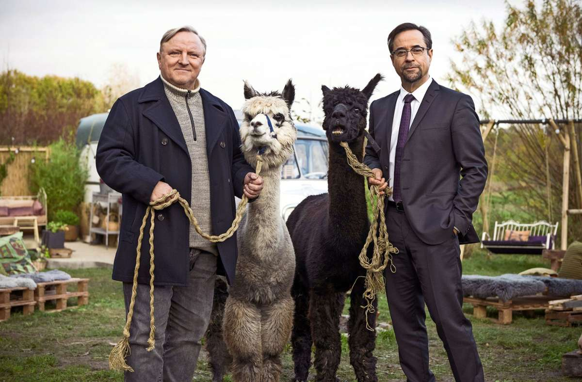 Manchmal ist Arbeit auch ein Streichelzoo:  Thiel (Axel Prahl, links) und Boerne (Jan Josef Liefers, rechts) mit zwei Alpakas Foto: WDR/Martin Valentin Menke