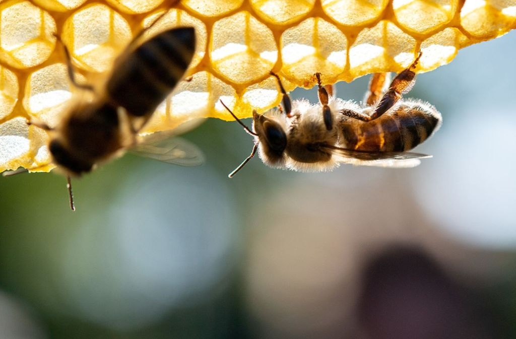 Die Amerikanische Faulbrut ist für Bienen tödlich. (Symbolfoto) Foto: dpa/Sebastian Gollnow