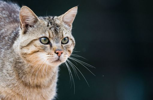 Impfstoff gegen Katzenhaarallergie gefunden