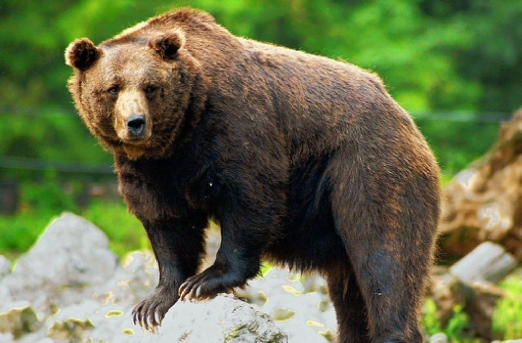 Etwa 500 Bären leben in Slowenien, der Großteil ist der Forstverwaltung bekannt. Foto: dpa