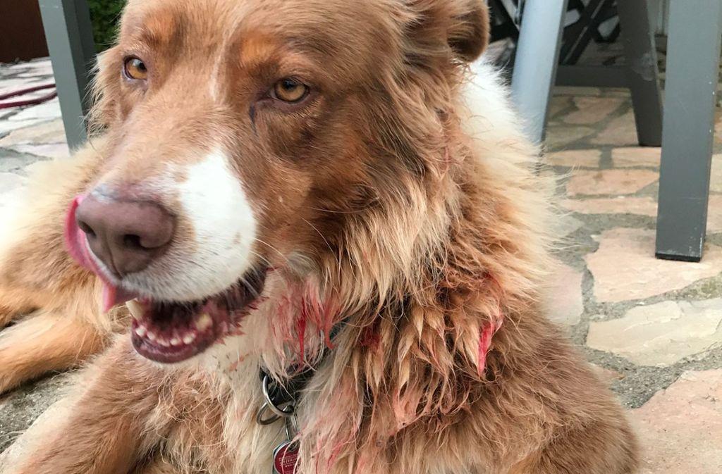 Hund Adonis nach der Attacke: Der Australien Sheperd von Familie Ilitsch ist am Montag in Weilstetten von einem Kangal übel zugerichtet worden. Foto: Privat