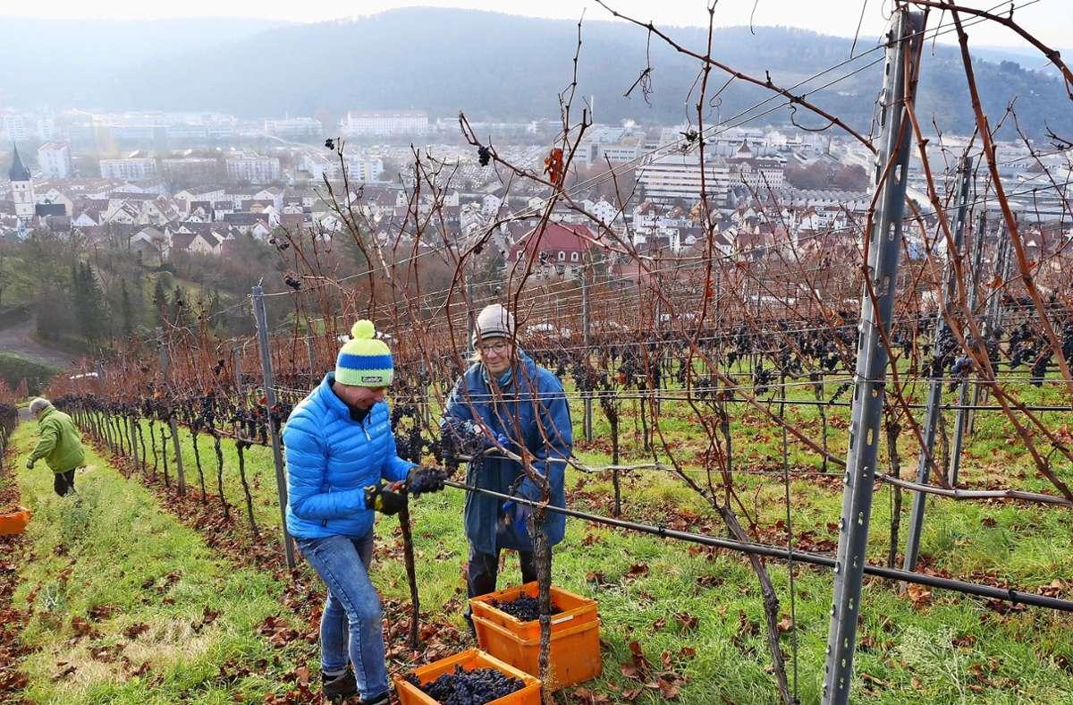Reiche Ernte für die Esslinger Wengerter, denn das Wetter war in diesem Jahr optimal für eine Beerenauslese. Foto: Kerstin Dannath