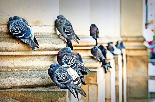 Kranke Tauben benötigen  neues Zuhause