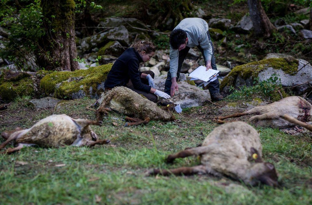 Zahlreiche tote Schafe werden von Vertretern der Forstlichen Versuchs- und Forschungsanstalt Baden-Württemberg (FVA) und der Forstverwaltung Calw untersucht. Foto: dpa