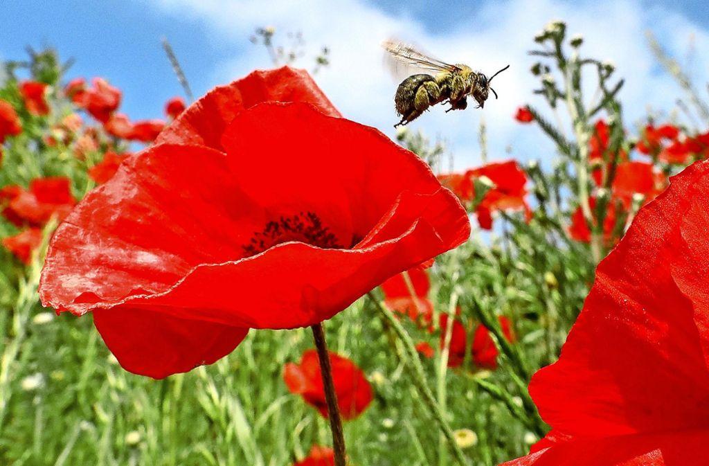 Bienen brauchen blühende Wiesen. Mohn mögen sie besonders gern. Foto: dpa/Thomas Warnack