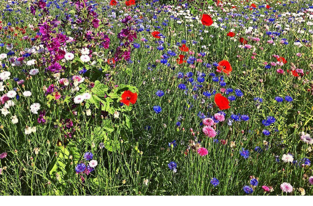 Gibt es etwas, das schöner blüht als eine Blumenwiese? Foto: privat