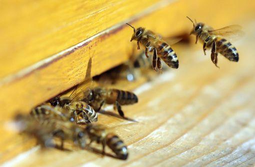 Vier lebendige Gift-Bienen aus Frauenauge geholt