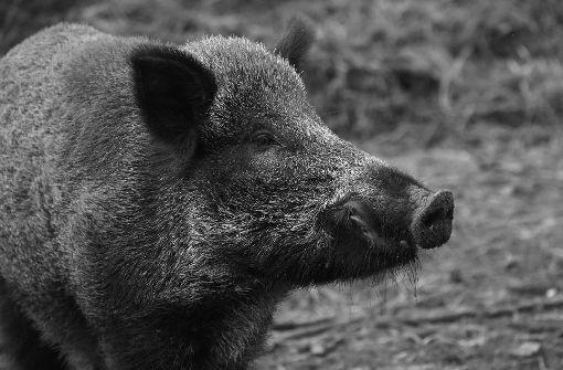 Mercedes stößt mit Wildschwein zusammen