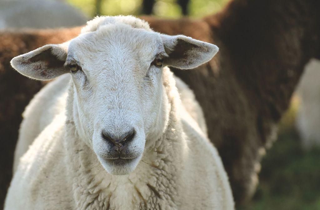 Das Schaf war nach dem Vorfall in der Nacht auf Montag vermisst worden. Foto: pixabay