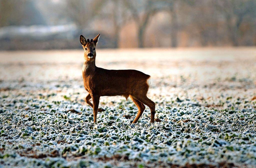 Beliebtes Jagdziel unter Wilderern: Ricken, weibliche Rehe also. Wie viele illegale Jäger es gibt, ist unklar. Man geht von einer hohen Dunkelziffer aus. Foto: dpa