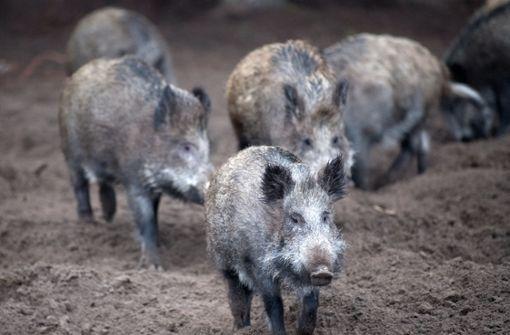 Tierseuche kommt näher – Vorsorge bereits verstärkt