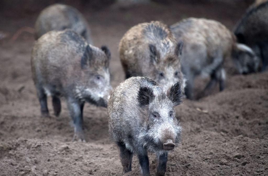 Nahe der deutschen Grenze wurde ein neuer Fall der Tierseuche gemeldet. (Symbolfoto) Foto: dpa/Ralf Hirschberger