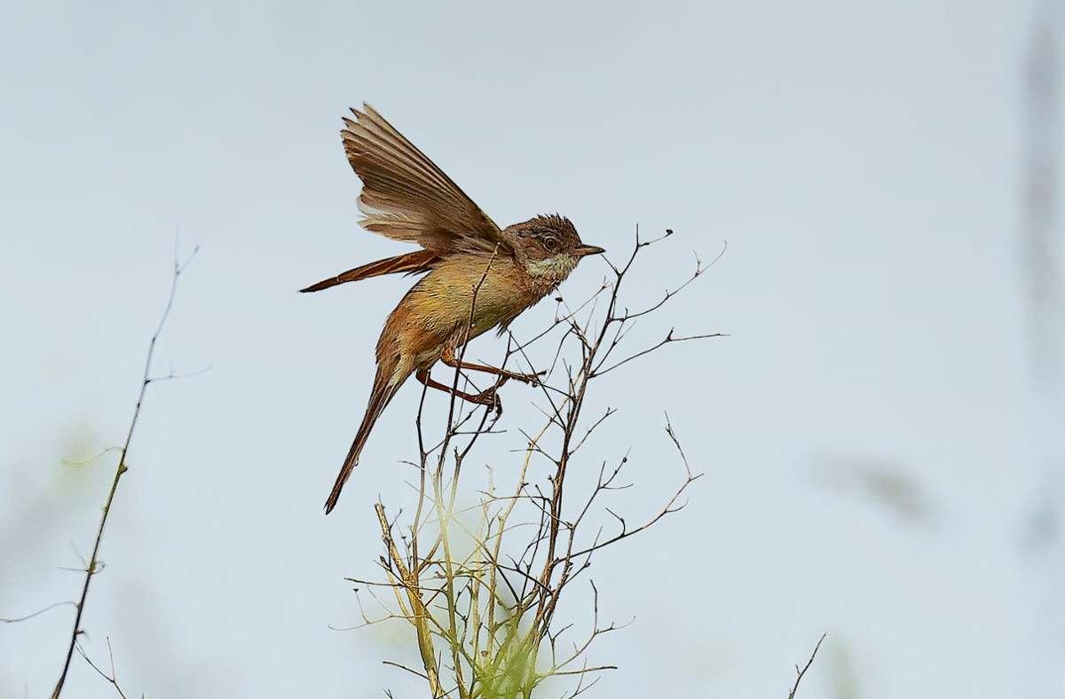 Manchmal startet die Dorngrasmücke zu einem kurzen Singflug. Foto: Michael Eick