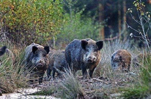 Stadtranderholung für Wildschweine